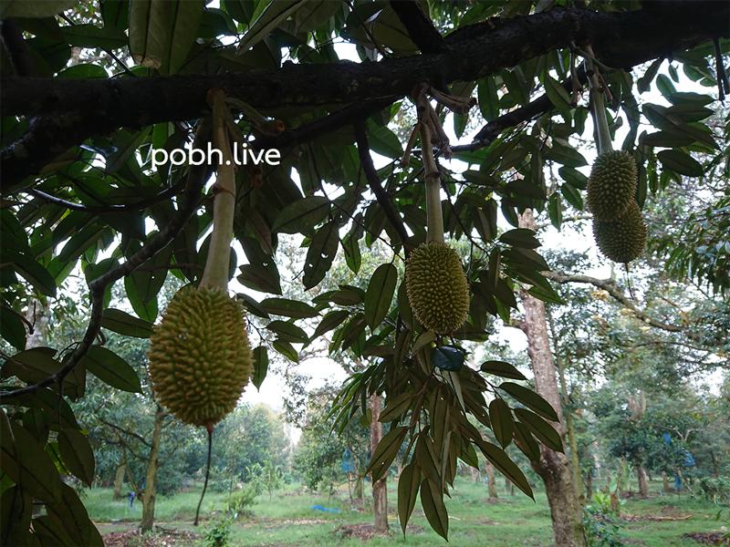 Durian_pobhdotlive_chanee001